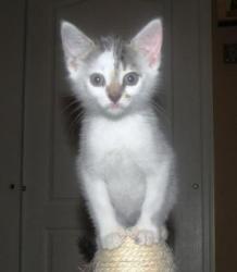 Adopt a Homeless Cat | Pez | Domestic Short Hair | Furrever Friends Rescue & Volunteers, Inc.