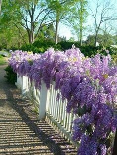 My dream house will have a fence with wisteria, hydrangeas and lilacs.