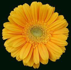 Bright yellow gerbera= Happy Me