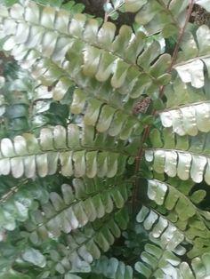 Didymochlaena  truncata