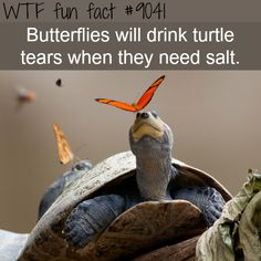 Butterflies drink turtle tears - WTF fun facts For content that is funny and updated daily please click the link, and like the page. Funny Facts, Funny Memes, Videos Funny, Hilarious, True Memes, Dankest Memes, Tier Zoo, Funny Animals, Cute Animals