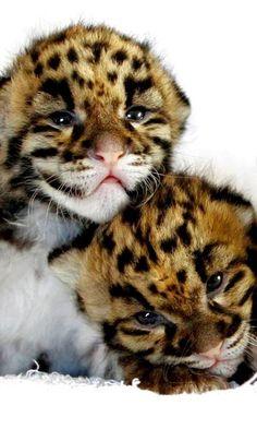 だめだ、何度見てもw どうしてヒョウの赤ちゃんっておっさん顔なのwww  --------------------------  leopard cubs