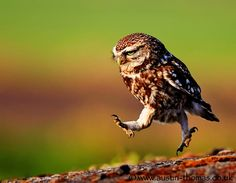 Little Owl in A Hurry