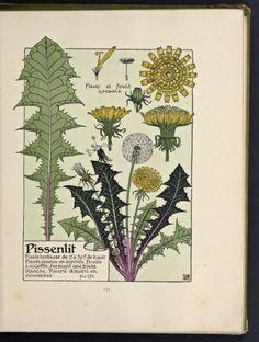 Pissenlit (Dandelion).  Illustration taken from 'Etude de la Plante' by M. P. Verneuil ( 1869-1942 ).  Published 1903 by Librairie Centrale des Beaux-Arts.  Getty Research Institute.  archive.org