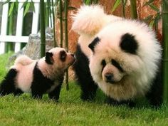 Tibetan Mastiff mommy and baby.