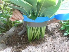hosta moving leafed how to, gardening, how to, perennial