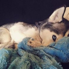Wonderful All About The Siberian Husky Ideas. Prodigious All About The Siberian Husky Ideas. Cute Husky Puppies, Husky Puppy, Cute Dogs, Dogs And Puppies, Doggies, Funny Husky, Siberian Husky Dog, My Husky, Alaskan Husky