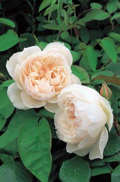 English Rose 'The Generous Gardener'