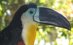 Tucán de Pico Acanaldo. Ramphastus vitellinus vitellinus (subespecie), originario de abita en los bosques del nororiente de Sudamérica, desde Trinidad y Tobago, el nororiente de Colombia y las Guayanas hasta Bolivia y Brasil.