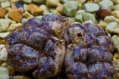 Conophytum pellucidum terricolor Batwing, via Flickr.