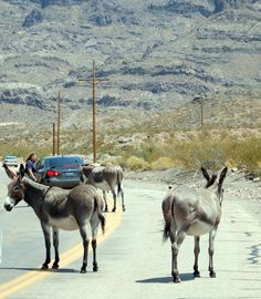 Wild Burros just chilling in the streets of Oatman, AZ