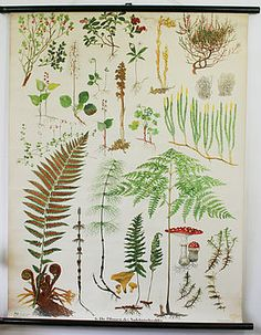 Vintage School Chart 'Pine Forest Ferns' - Very cool