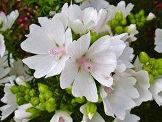 Malva moschata 'alba' - 'White Perfection' Musk Mallow White Flowers, Beautiful Flowers, Plant Guide, Moon Garden, Malva, Ornamental Plants, Hollyhock, Garden Soil, Herbs
