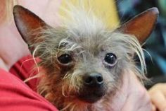 Big Dawg is an adoptable Chinese Crested Dog Dog in La Harpe, KS.  ...