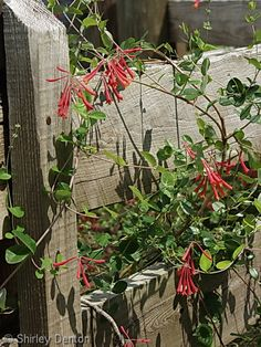 Florida native plant which draws humming birds and butterflys... Lonicera sempervirens    coral honeysuckle   I do have this around my place....going to have to encourage it's growth.