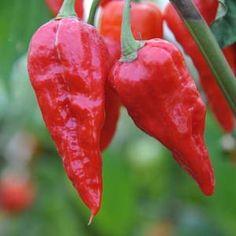 De Naga Morich of Dorset Naga is een van de heetste pepers ter wereld. Scoville Units: ~ 1.000.000