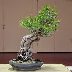 Japanese black pine Bonsai Garden, Bonsai Trees, Plant Hanger, Terrarium, The Incredibles, Japanese, Island, Pine, Flowers