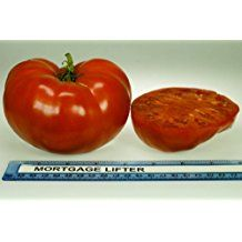 Grow nutritious Mortgage Lifter tomatoes. This is 2 plants that are 5 inches to 7 inches tall! These tomatoes have few seeds and have an extremely sweet, delicious flavor. Combine that with its large, well- shaped fruits and you have a most popular heirloom tomato. This particular tomato variety is drought-tolerant, requiring less water than many other varieties of tomatoes.