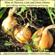 How to Harvest, Cure and Store Onions – Root Cellaring, Braiding, Dehydrating and Freezing