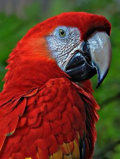 Parrot - Scarlet Macaw - Red