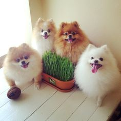 ♥ I love pomeranians... i'd love them more if they'd shut up. But they're cute none the less.
