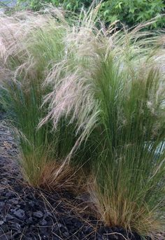 Mexican feather grass easy to grow flowers for Easy to grow ornamental grasses