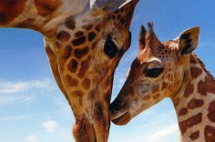 girafas, sky, cute, fotografia