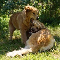 Cherry&Fuzzy * #ilovegolden_retrievers #pets_perfection #my_loving_pet #dogs_of_instagram #instadogsfeature #pupdoggydog #meowvswoof #bestwoof #dog_features #dogsofinstagram #ilovemydog #puppytales #instagramdogs #dogstagram #nature_cuties #FurrendsUpClose #goldens_ofinstagram #igclub_dogs #gloriousgoldens #instadog #goldenretriever #puppytrip #retrieversgram #welovegoldens #Excellent_Dogs #puppiesforall #lillyspicoftheweek #animaladdict #bestfriends_dogs #west_dog...