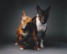 Irresistibull - Miniature Bull Terrier Club of America