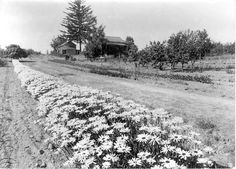 Vintage photo of row of Shasta Daisies at Gold Ridge Farm. Burbank was inspired to develop these wildflowers for use as garden flowers, and envisioned an ideal daisy: it would have very large pure white flowers, smooth stems, early and persistent blooming, good keeping quality as a cut flower and sturdiness as a garden plant.  The Shasta daisy is a quadruple hybrid.