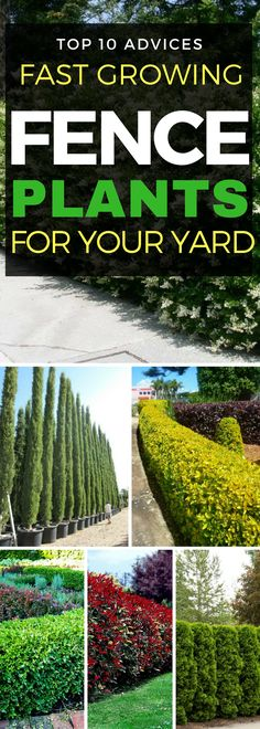 See if more than one of these is zoned 3, Colorado or Rocky Mountains 1. Bamboo 2. Privet 3. Boxwood 4. Arborvitae Cypress trees  7. Skip Laurel 8. Holly 10. Juniper You might don't like other people or animals coming to your property or you just want some privacy while relaxing in your backyard. No matter the reason, having beautiful plants instead of a traditional fence has many benefits. It is true though that having natural fence isn't a fast solution. You have to be patient....