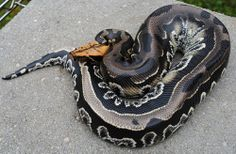 Blood python soooooooooo beautiful