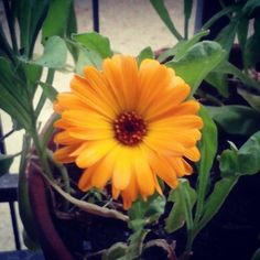 Calendula in fiore #100witchesday #100giornisulleormedellagrandemadre #SacerdotessediAvalon #SDA #SOdGM #MWL #giorno16 #016days