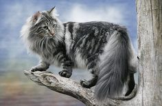 A Maine Coon