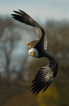 Bald Eagle on the Hunt by Stuart Clarke