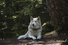 Siberian husky as wolfdog breeds in the world Beautiful Dog Breeds, Most Beautiful Dogs, Pet Shop Online, Cute Dogs Images, Puppy Images, Pictures Images, Siberian Husky Dog, Wolf Husky, Labrador Husky