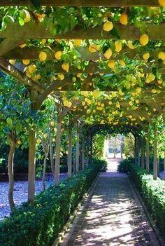 Hanging lemons fruit