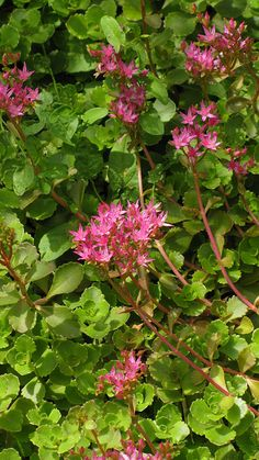 My Favorites....I've brought them from Green Mtn Falls down to my first home in the Springs and now to our new home.....they follow me everywhere!  Sedum kamtschaticum in bloom   Flickr - Photo Sharing!