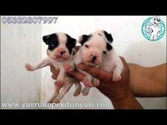 Fransız Bulldog Yavruları 05332807997