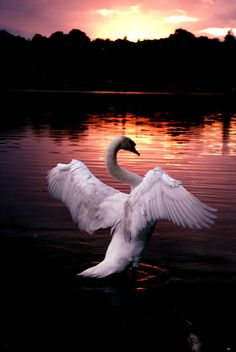 "swan -(Reminds me of one of my favorite quotes, given to me, by my favorite teacher... Face the sun and the shadows fall behind.) ~ ""Turn your face to the sun and the shadows fall behind you."" -Charlotte Whitton ~ http://en.wikipedia.org/wiki/Charlotte_Whitton"