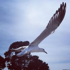 "Not sure why but in my head they are called ""sea pigeons"" not sea gulls. Great big things they are no wonder Daphne de Maurier wrote ""the birds"". #seagull #seaside #hitchcock #deMaurier #beach #lorne #victoria #australia #seabirds #bird #birds #takingflight #flying #flight #wing #wingedcreatures by plumbelly http://ift.tt/1IIGiLS"