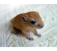 Baby gerbil. :o) :o)