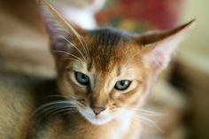 abyssininan kitten - Google Search