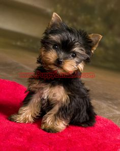 I may get a teacup yorkie some day!!  And I may even carry it in my purse!!