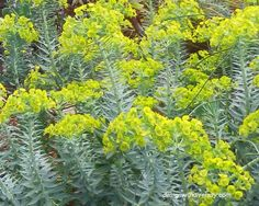 Euphorbia rigida: also known as 'Gofer Plant'. The chartreuse color brings life to the winter garden. Chartreuse Color, Country Landscaping, Water Wise, Winter Colors, Plant Design, Drought Tolerant, Garden Plants, Succulents, Landscape