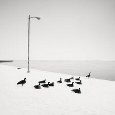 Josef Hoflehner, Gray Geese, Chicago, Illinois, USA, 2008