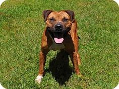 Naples, FL - Black Mouth Cur. Meet CAPONE, a dog for adoption. http://www.adoptapet.com/pet/17943154-naples-florida-black-mouth-cur