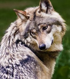 Mexican wolf. Oh, gee, another grey hair or another hundred of 'em. Sigh.