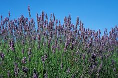 Organic Lavender Photograph by Anonymous
