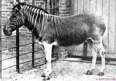 Quagga kihalt állat faj,ritka történelmi fotók, iliveinstyle.com, Roland Sarkadi